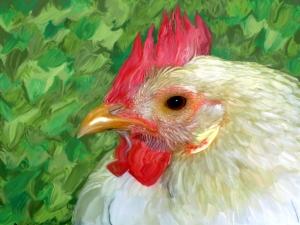 chicken10