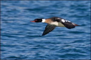 red-breasted-merganser-male-flying_3262