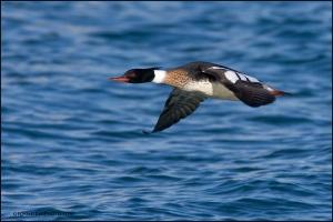 red-breasted-merganser-male-flying_3262