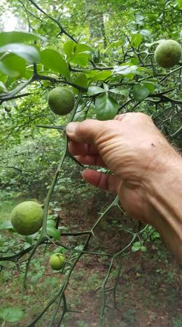 Wild Lemon